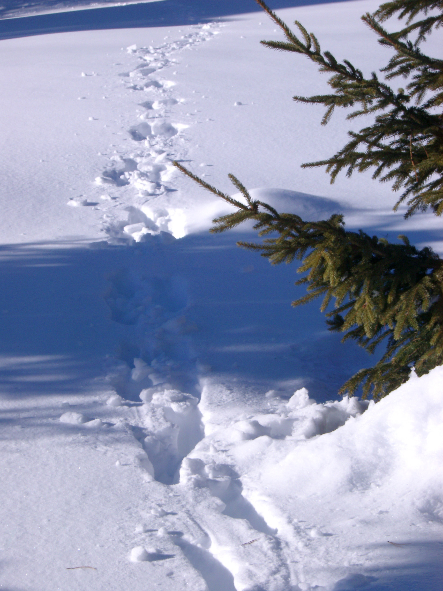 Close up Path Trails on Snow Field with Fir Tree on Side During Winter Holiday Season