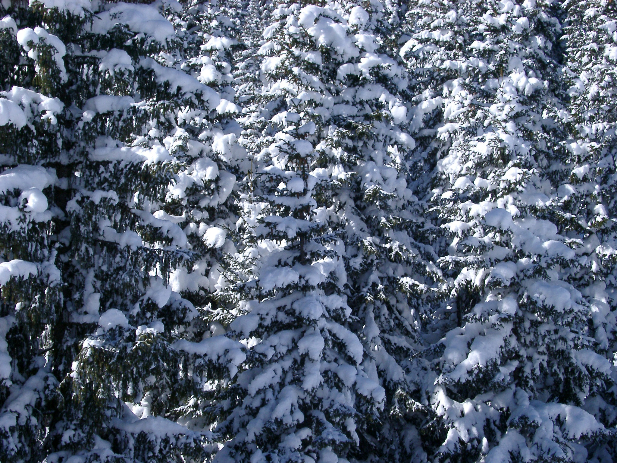 Free stock photo of trees covered with snow photoeverywhere - Images of pine trees in snow ...