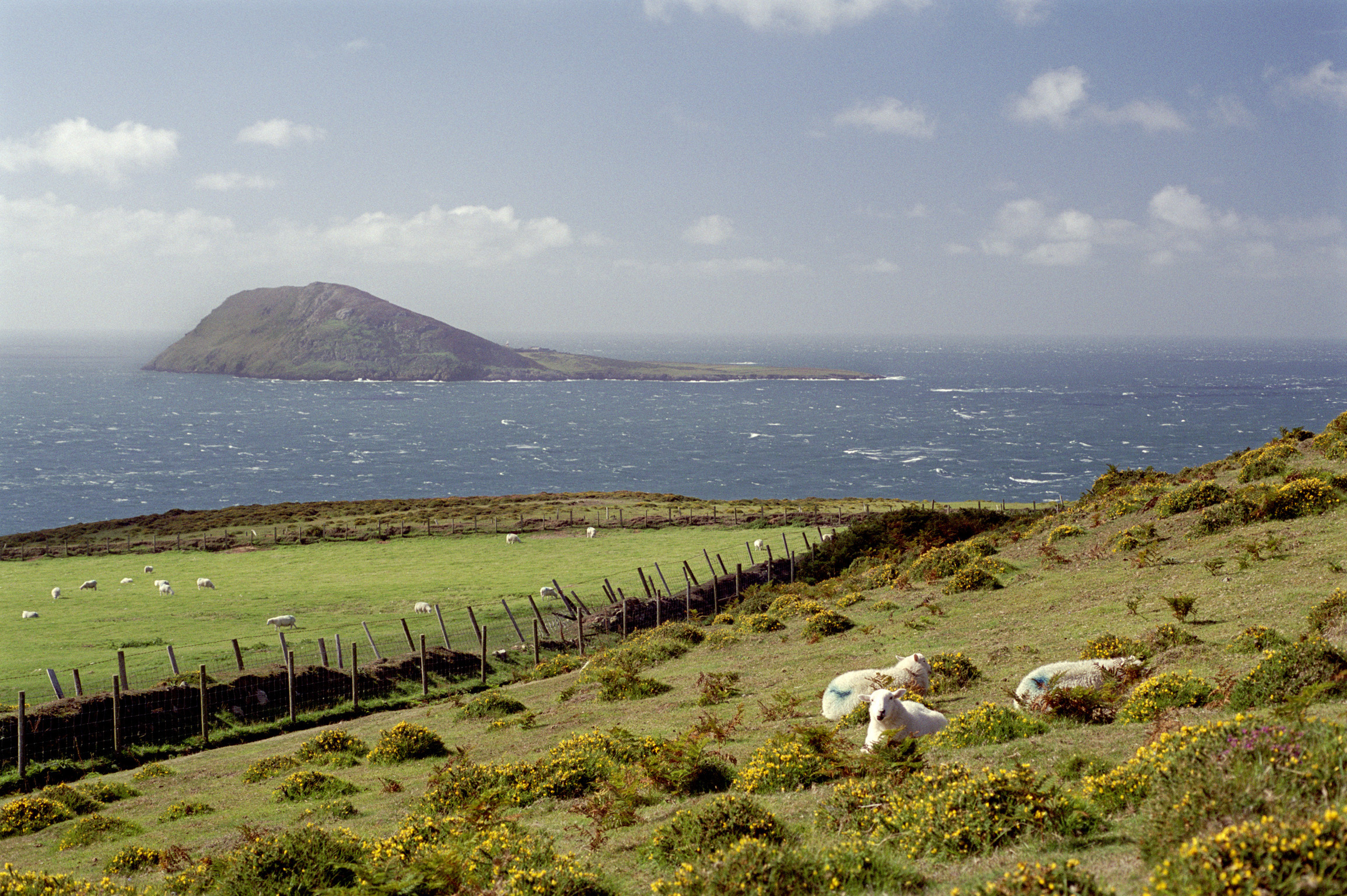 Sheep Resting on Green Landscape with Bardsey Island View Afar, the Legendary Island of 20,000 Saints, lies off the Llyn Peninsula in the Welsh County of Gwynedd.