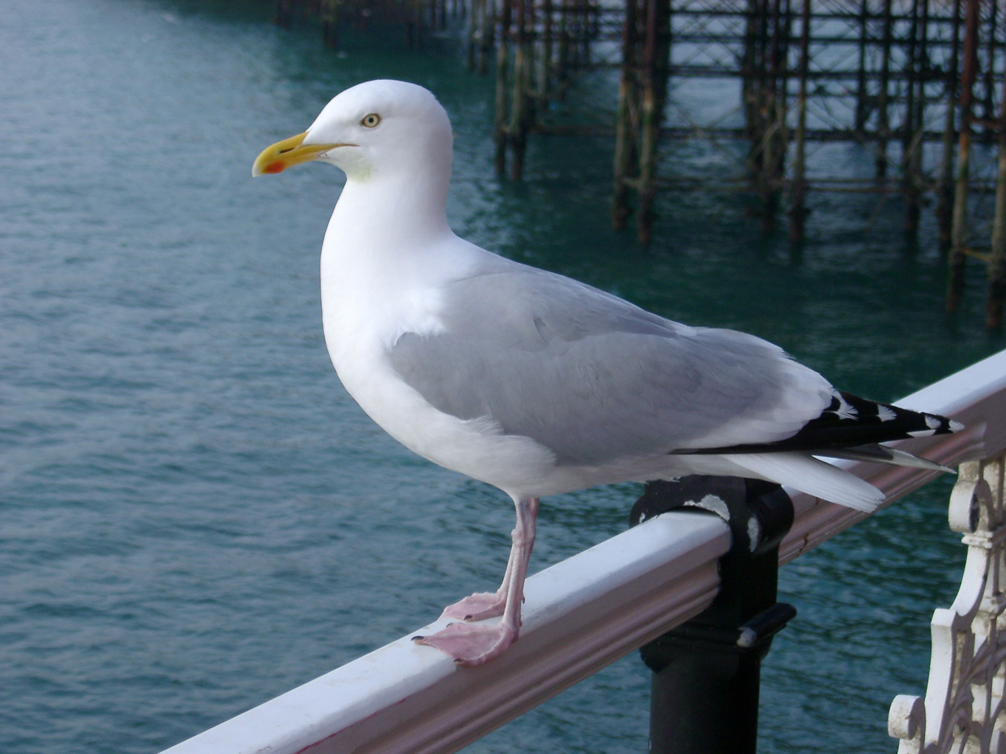 Seagull perched on a railing overlooking a calm sea with reflections, close up side view
