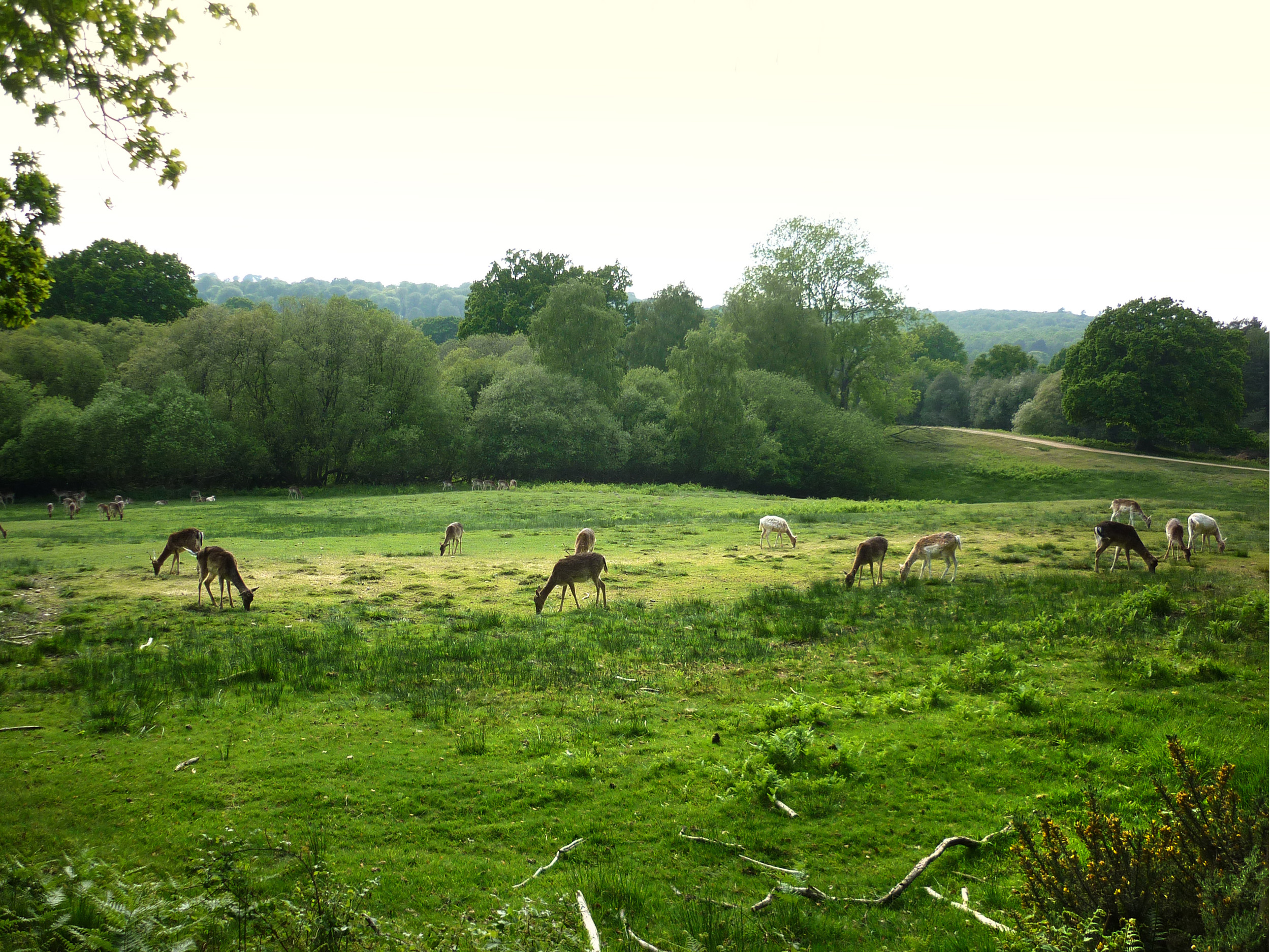 wild deer grazing a meadow in the new forest