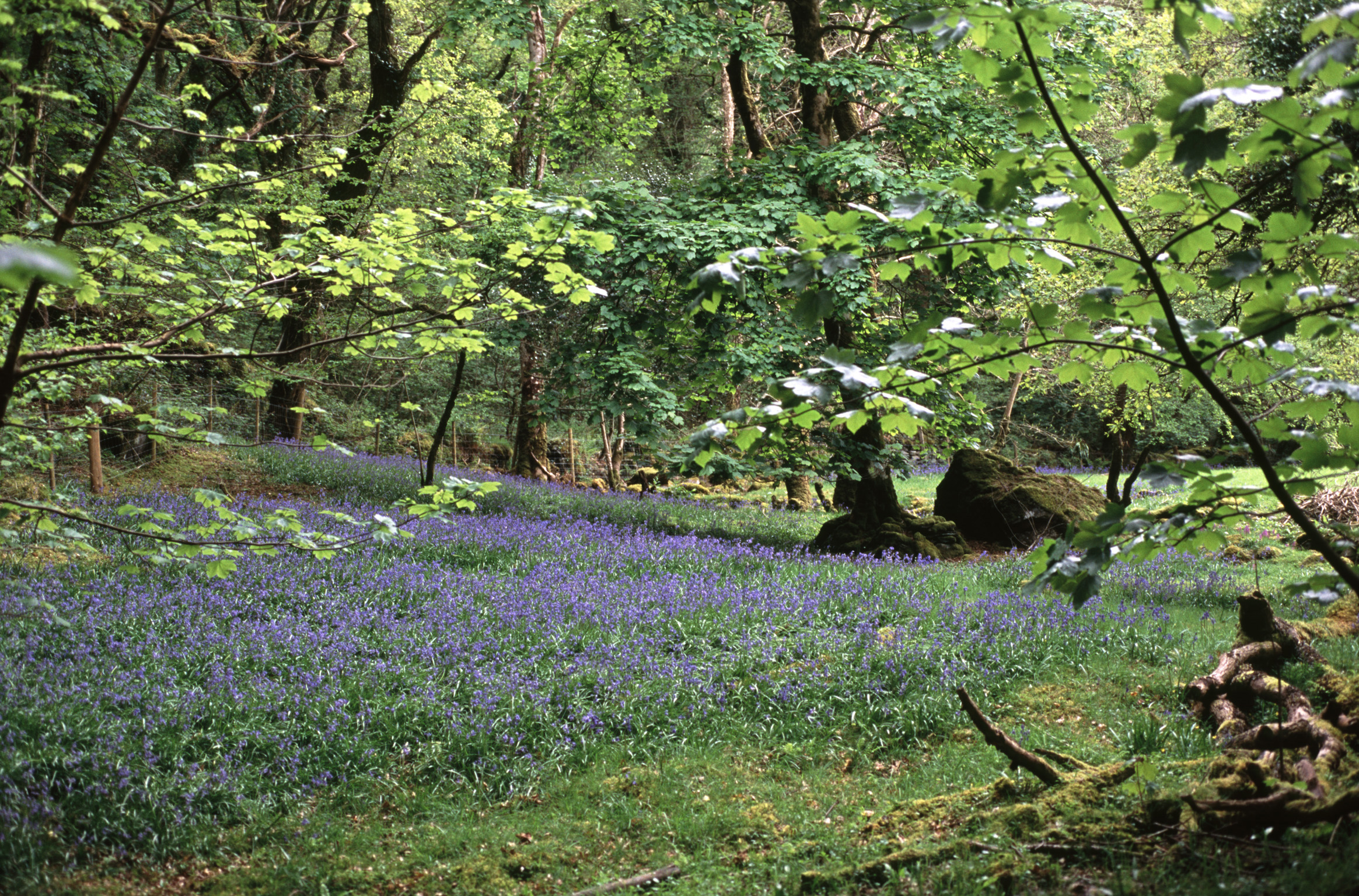 Scenic landscape of blue bells flowering in an open glade amongst the leafy green trees in woodland