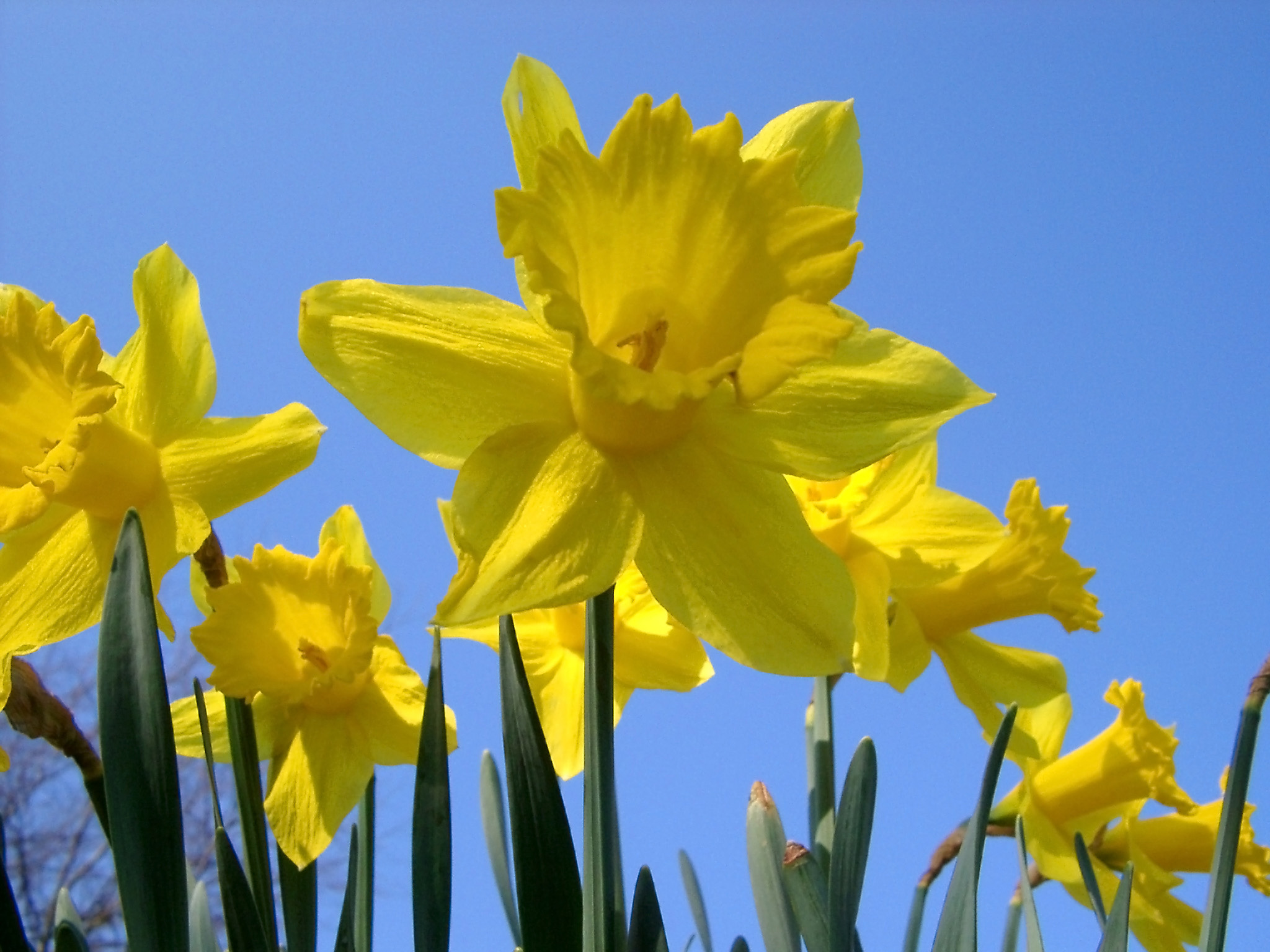 Yellow daffodil or narcissus flowers, spring-flowering bulbous perennial plants, under a clear blue sky