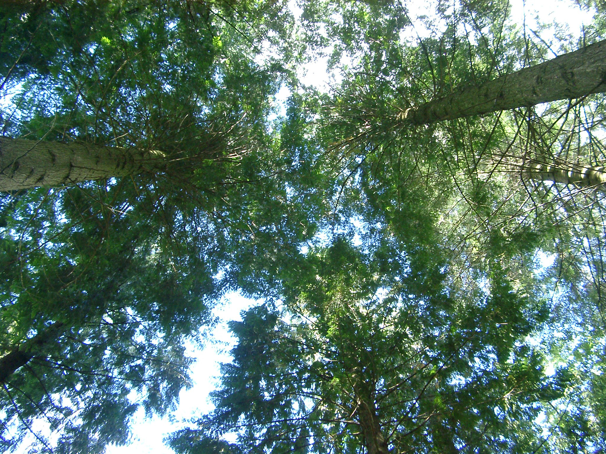 Looking up into the foliage of a stand of tall leafy green trees in woodland against a blue sky