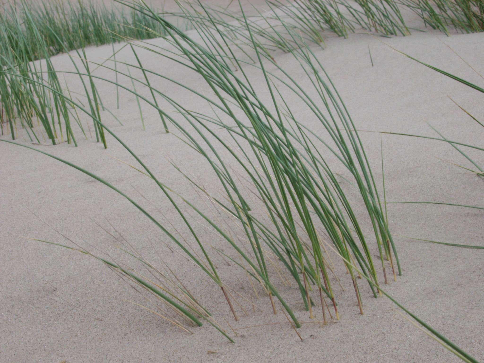Coastal grass growing on a sand dune in the golden sand in a unique fragile natural habitat