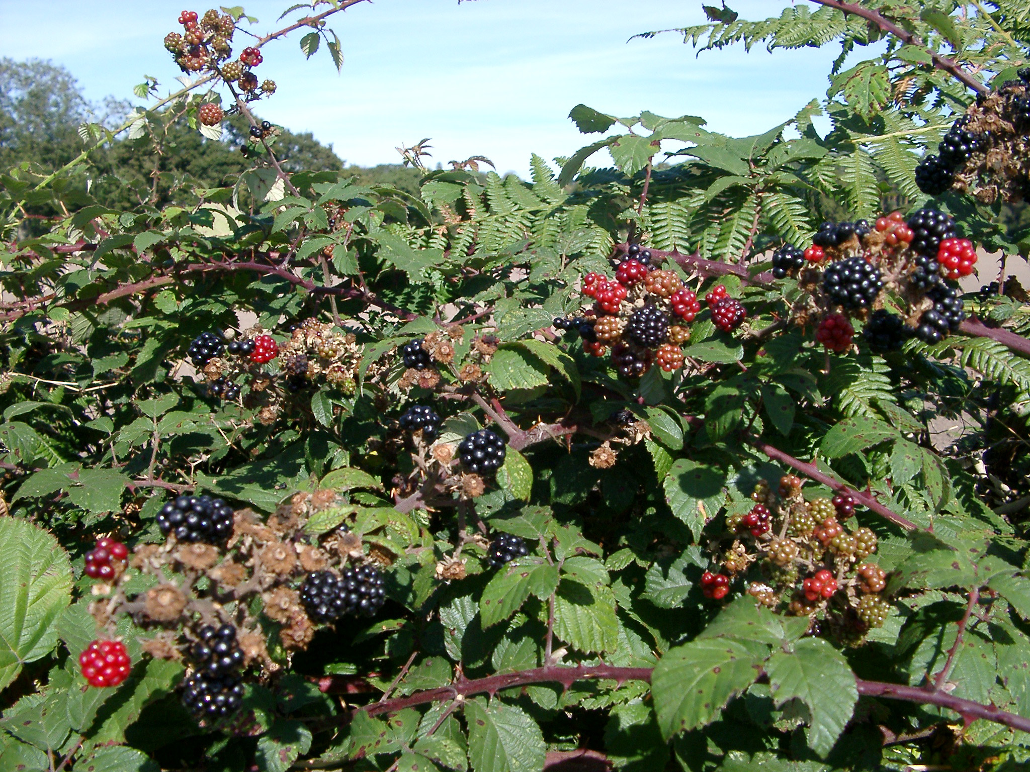 Close up of a hedgerow in farmland with ferns and blackberry canes covered in ripe blackberries and ripening red berries, close up detail of the fruit