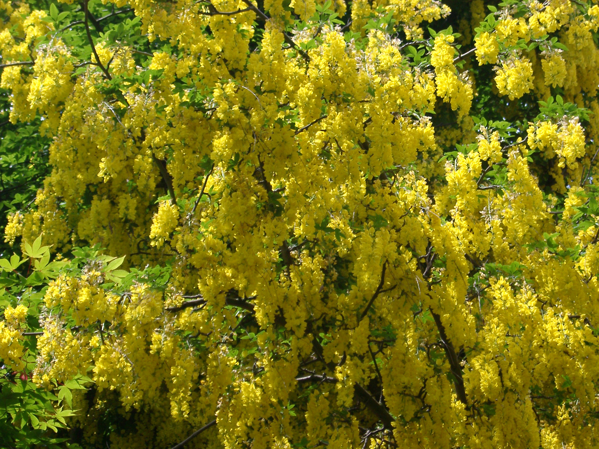Botanical nature background of a colorful yellow laburnum tree in flower covered in hanging inflorescences