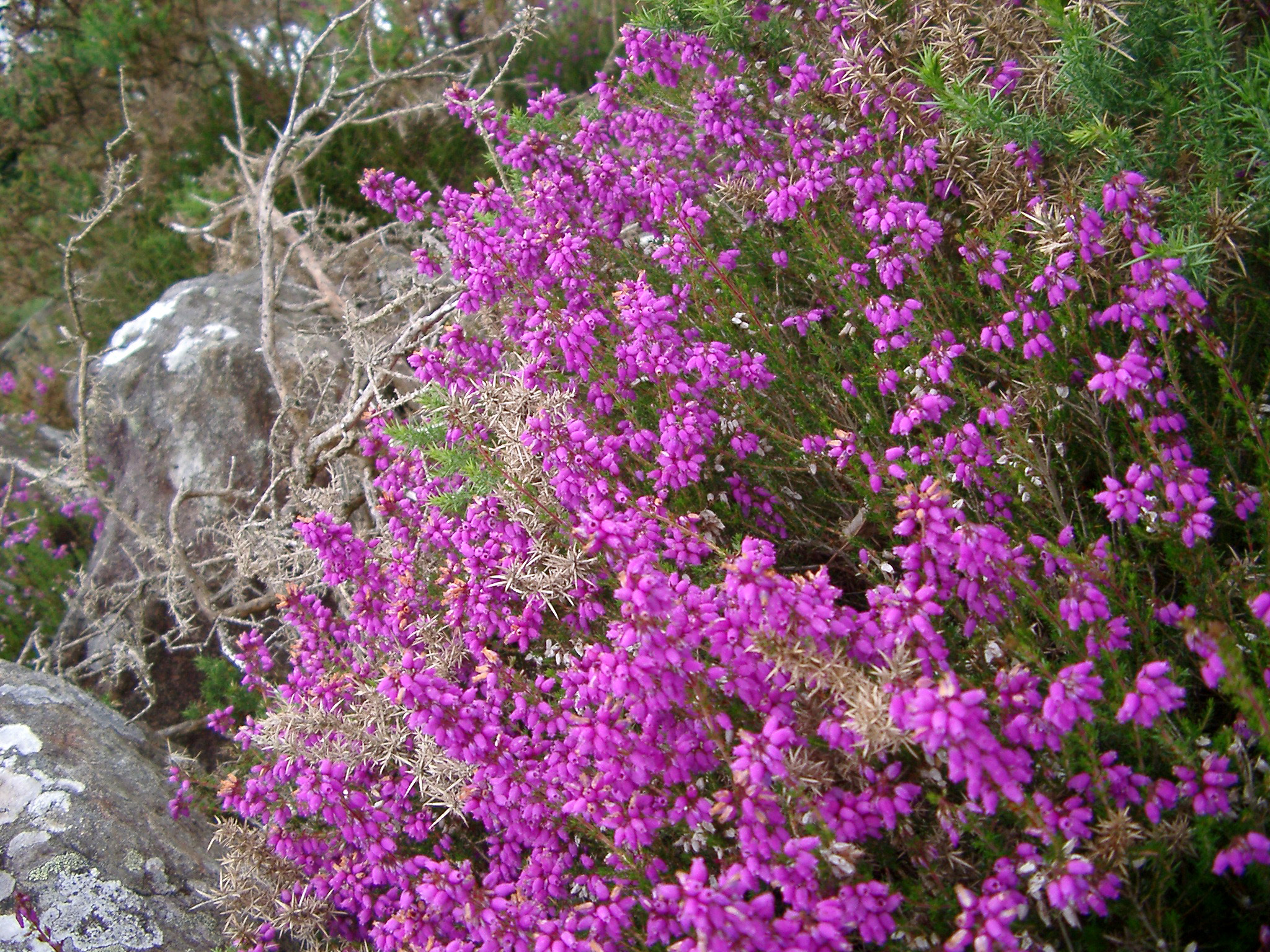 Colorful bush of flowering magenta heather or heath with its pretty bell-shaped flowers