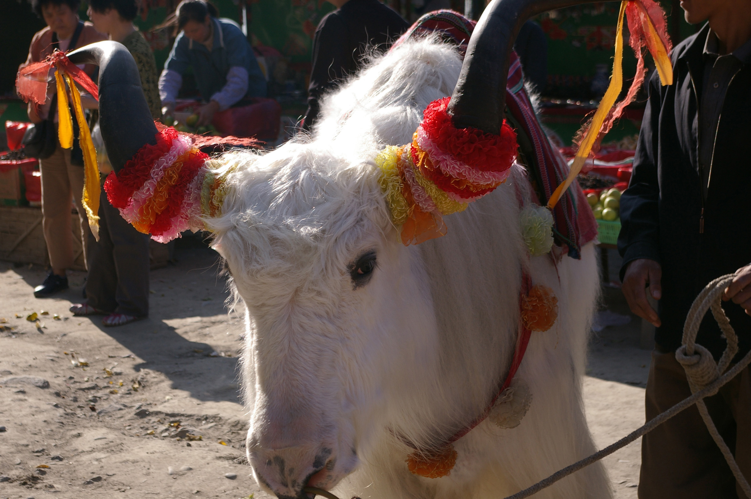 Close up Attractive Decorated Horns of White Ox Animal