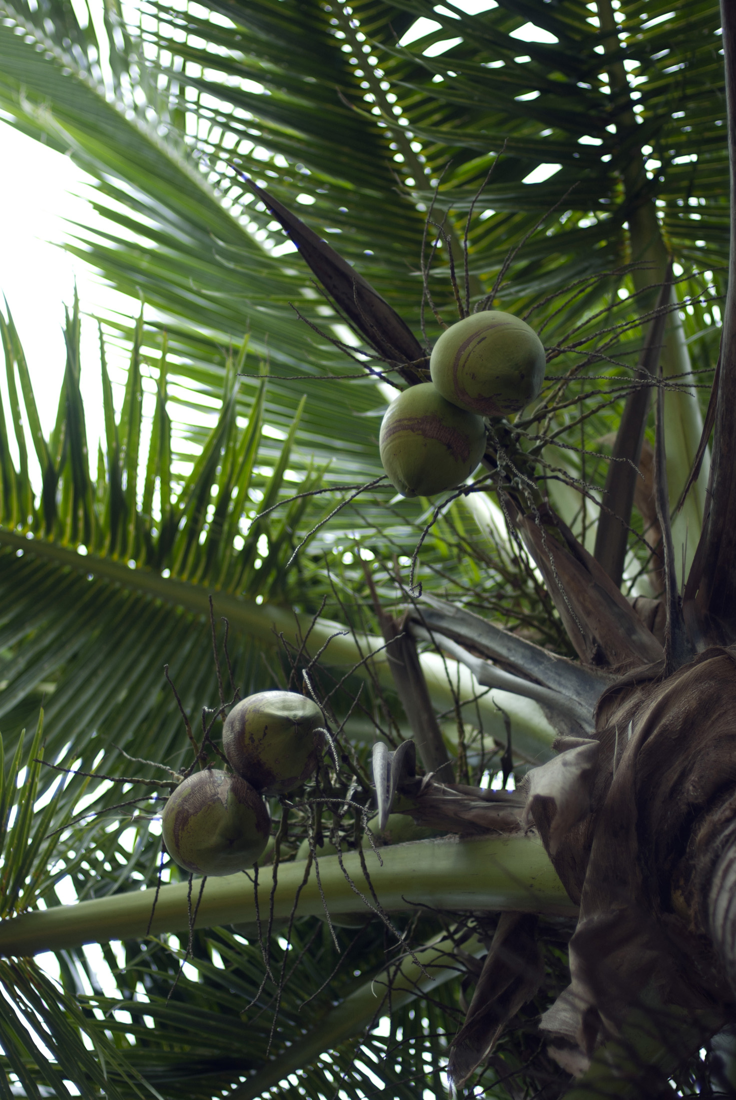 Low angle view looking straight up the trunk at ripening coconuts in a palm tree, symbolic of tropical travel and vacations