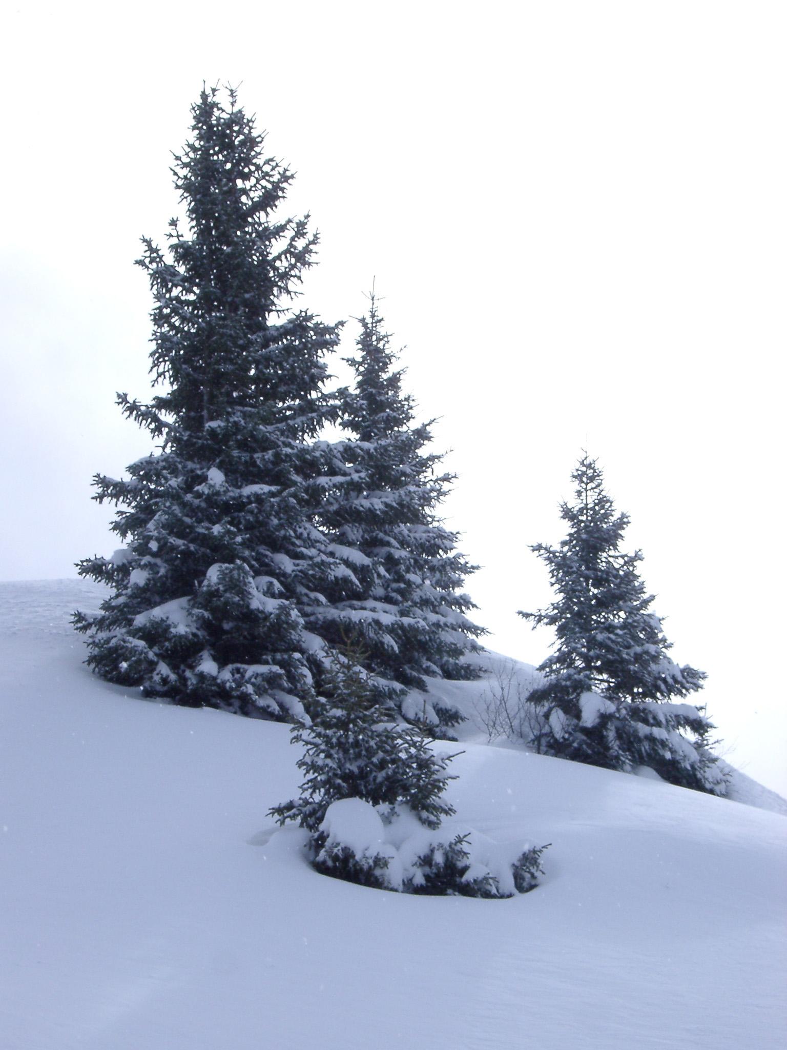 free stock photo of christmas fir trees on ice snow